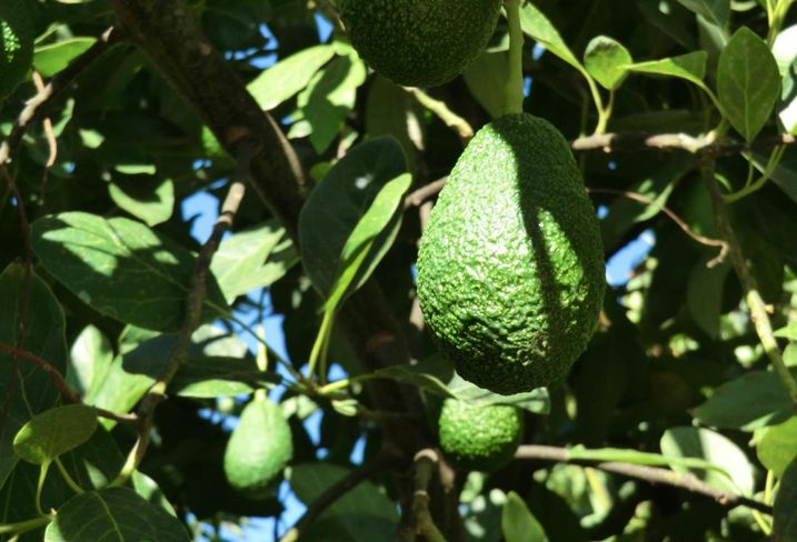 San Diego is the California's top avocado growing area. These avocados are growing at the Perricone Grove in San Diego County's Pauma Vallley.