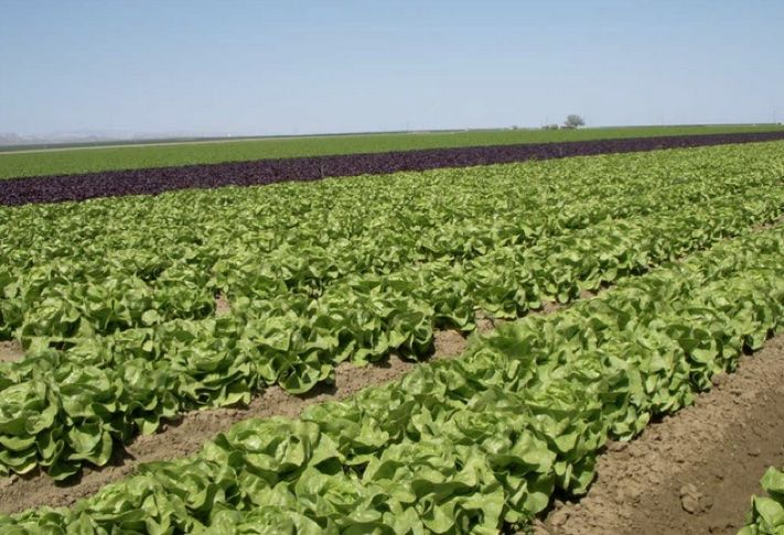 Lettuce growing in California's an Joaquin Valley, or Central Valley, which leads the nation in tree crops, like fruits and nuts; olives and vegetables.