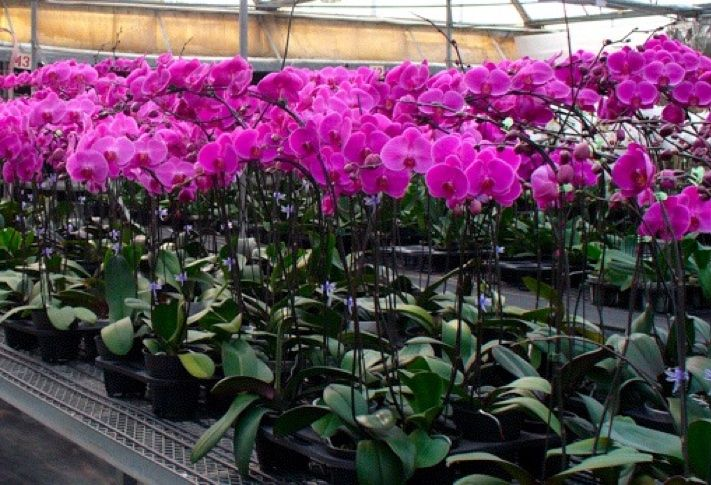 Orchids growing at Tayama Greenhouses in Encinitas, the Flower Capital of the World.