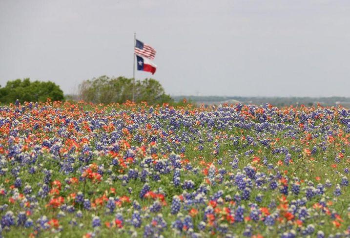 Texas bluebonnets wildflowers