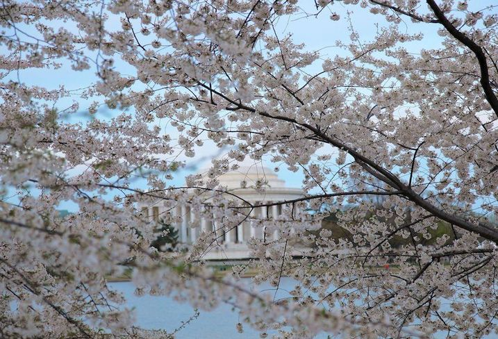 Cherry blossom festival jefferson memorial