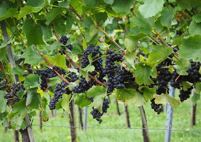 California Vintners Snapping Up Oregon Wineries