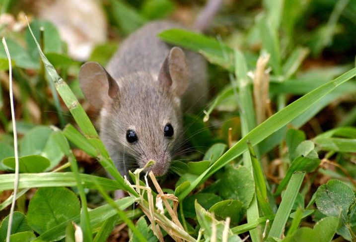 Mouse rodent animal